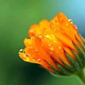 Ringelblume - Calendula zur Gewinnung von Ringelblume absolue 20% (Alkoholverdünnung)