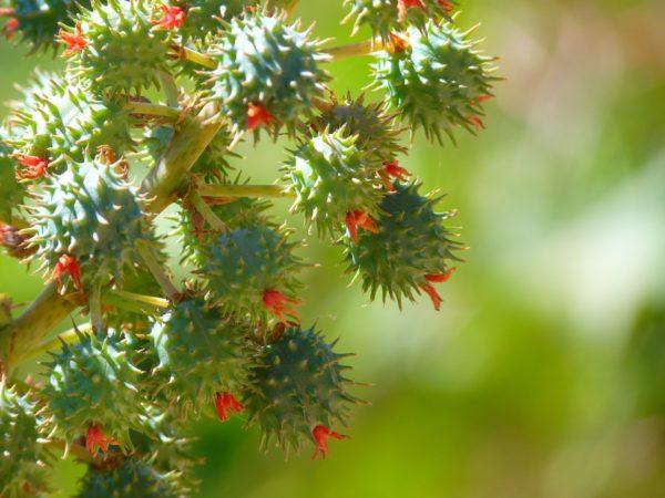 Rizinuspflanze zur Gewinnung von Rizinusöl bio
