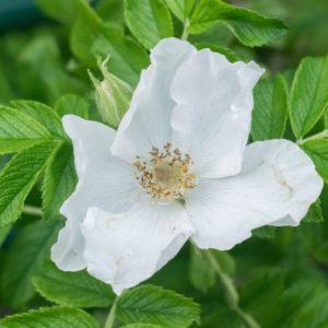 große, weiße Rosenblüte der Rosa Alba