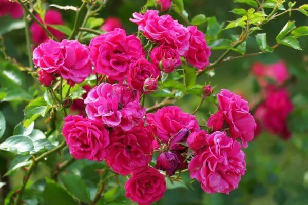 Rosa Centifolia Mai Rose zur Gewinnung von