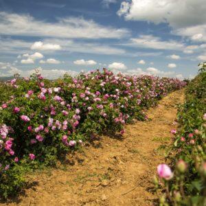 Mairosenfeld zur Gewinnung von Rosenwasser Marokko bio (Rosenhydrolat)