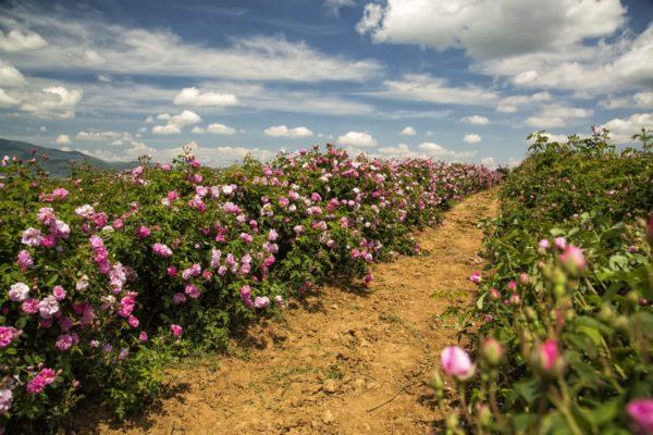 Mairosenfeld zur Gewinnung von Rosenwasser Marikko (Rosenhydrolat)