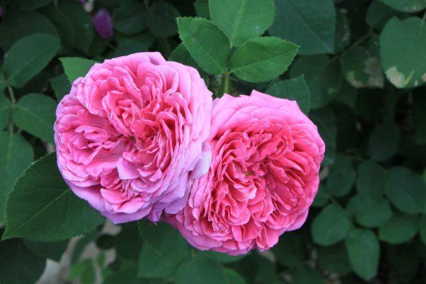Rose Damascena zur Gewinnung von Rosenöl bio