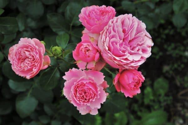Rosa damascena Egypt zur Gewinnung von Rose Ägypten absolue 100%
