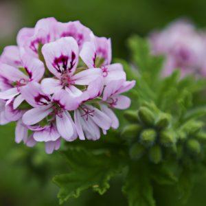 Rosengeranie Blüten zur Gewinnung von Geranie Bourbon bio Rosengeranie (ätherisches Öl)