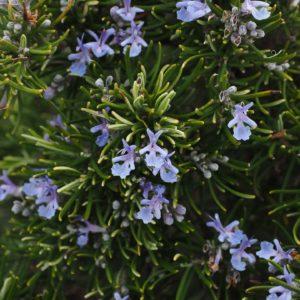 Rosmarin zur Gewinnung von Rosmarinwasser officinalis bio (Rosmarinhydrolat)