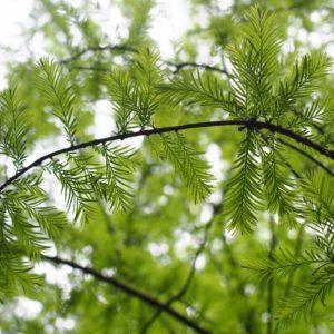 Zweig der Sachalin-Tanne zur Gewinnung von Sachalin-Tanne (ätherisches Öl)