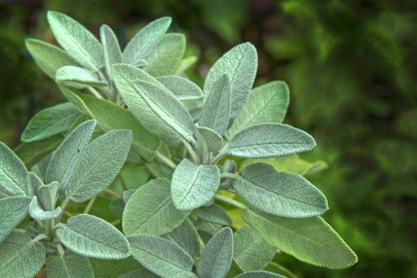 Salbeiblätter zur Gewinnung von Salbeiwasser bio (Salbeihydrolat)