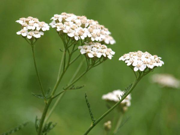 Achillea millefolium weiss zur Gewinnung von Schafgarbenwasser bio (Schafgarbe Hydrolat)