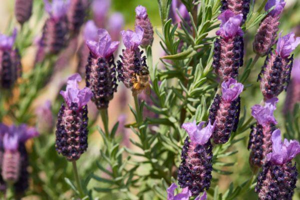 Schopflavendel in Blüte (Lavandula stoechas) zur Gewinnung von Schopf-Lavendel bio (ätherisches Öl)