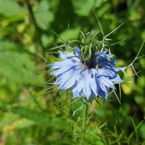 Nigella Sativa Blüte zur Gewinnung von Schwarzkümmelöl nativ bio