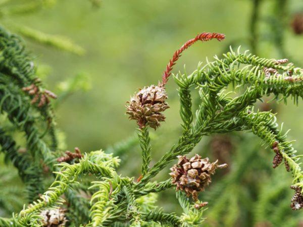 Cryptomeria japonica mit Zapfen zur Gewinnung von Sicheltanne - Cryptomeria Japonica (ätherisches Öl)