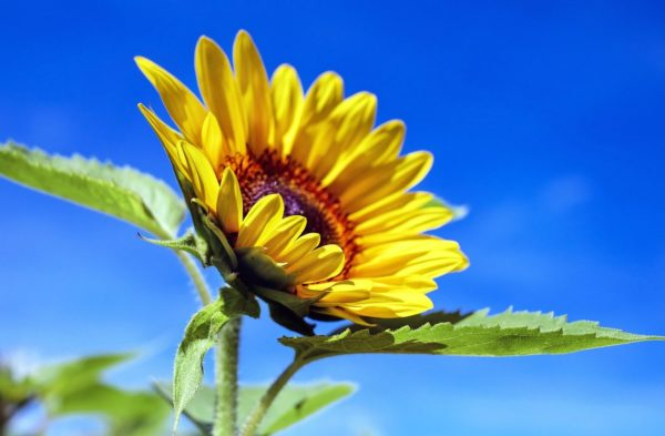 Sonnenblume zur Gewinnung von Sonnenblume (ätherisches Öl)