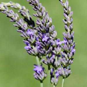 Blüte des Speiklavendel zur Gewinnung von Speiklavendel bio (ätherisches Öl)