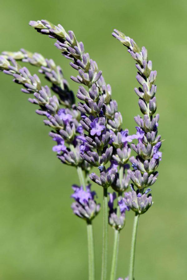 Blüte des Speiklavendel zur Gewinnung von Speik-Lavendel bio (ätherisches Öl)