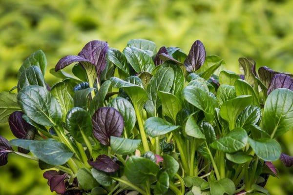 Spinatblätter zur Gewinnung von Spinat absolue 100%
