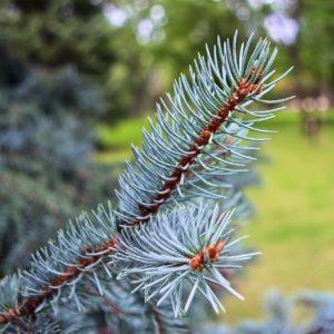 Stechfichtenzweig (Fichte blau) Idaho blue Spruce zur Gewinnung von Stech-Fichte (ätherisches Öl)