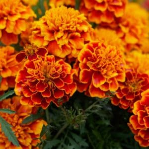 Tagetes - Marigold - Flower zur Gewinnung von Tagetes bio (ätherisches Öl)