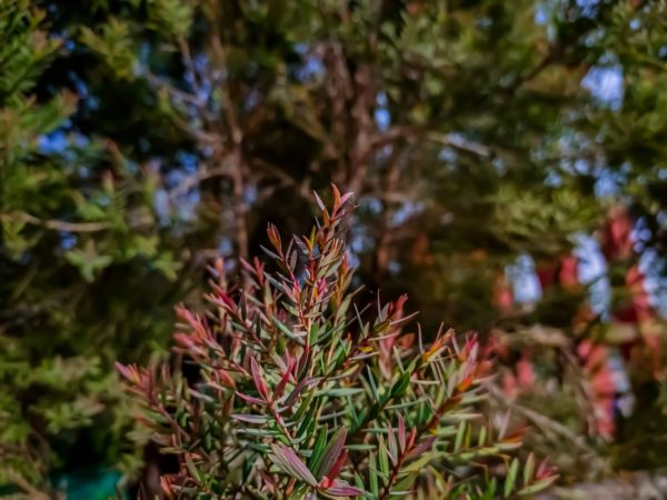Blätter des Melaleuca linariifolia zur Gewinnung von Teebaumöl linariifolia