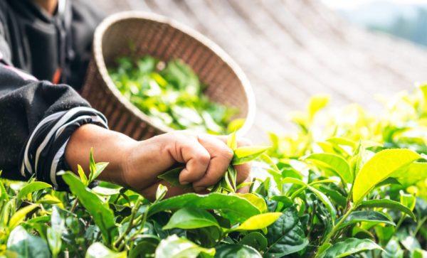 Pflücker am Morgen zur Gewinnung von Teebaum bio (Teebaumöl) ätherisches Öl
