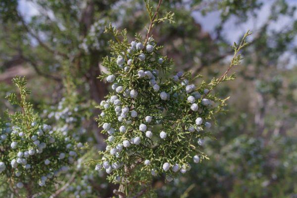 Alligator Wacholder zur Gewinnung von Texas-Zeder - Juniperus deppeana (ätherisches Öl)