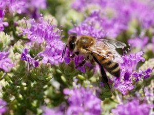 Thymianfeld mit Biene