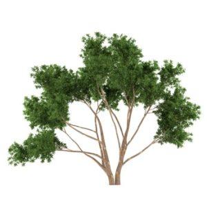 Eukalyptus zur Gewinnung von Eukalyptus lindleyana - Elataöl (ätherisches Öl)