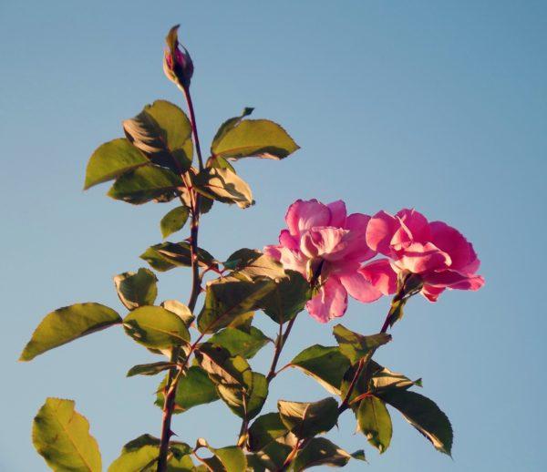 türkische Rose zur Gewinnung von