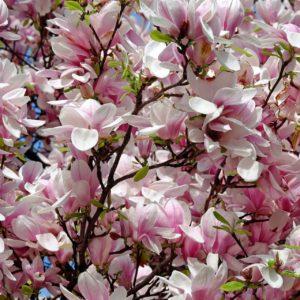 blühender Tulpenbaum zur Gewinnung von Tulpenbaum Absolue 100%