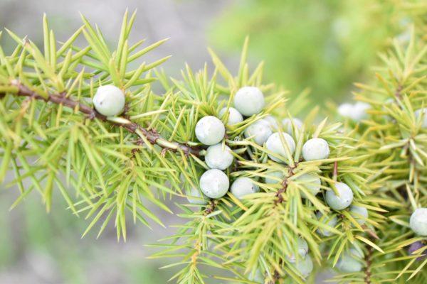 Wacholder Zweig mit Beeren zur Gewinnung von Wacholderwasser bio (Wacholderhydrolat)