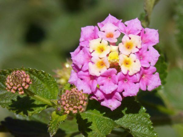 Wandelröschen Blüten zur Gewinnung von Wandelröschen - Lantana - (ätherisches Öl)