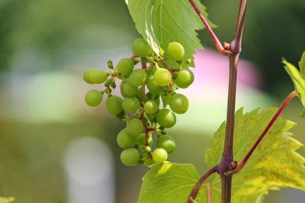 Weinbeeren Rebe zur Gewinnung von Weinbeere grün (ätherisches Öl)