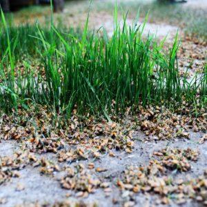 Weizenzeimlinge zur Gewinnung von Weizenkeimöl bio