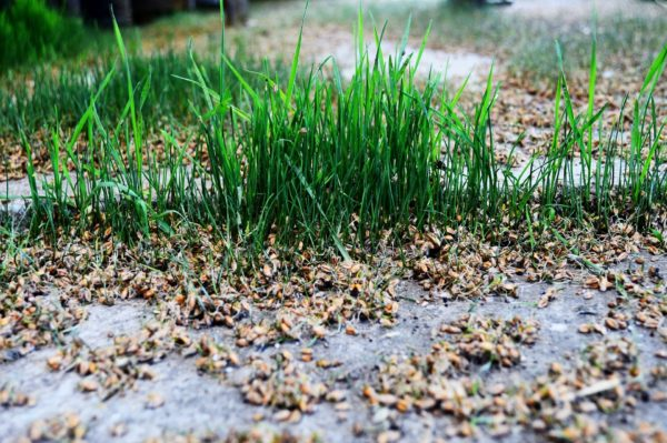 Weizenkeimlinge zur Gewinnung von Weizenkeimöl bio kaltgepresst