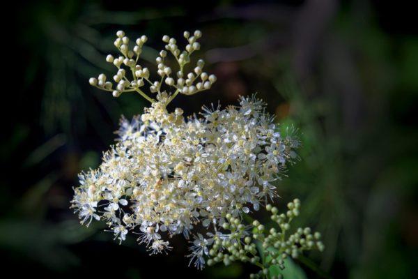 Filipendula ulmaria zur Gewinnung von Wiesenkönigin bio (ätherisches Öl)