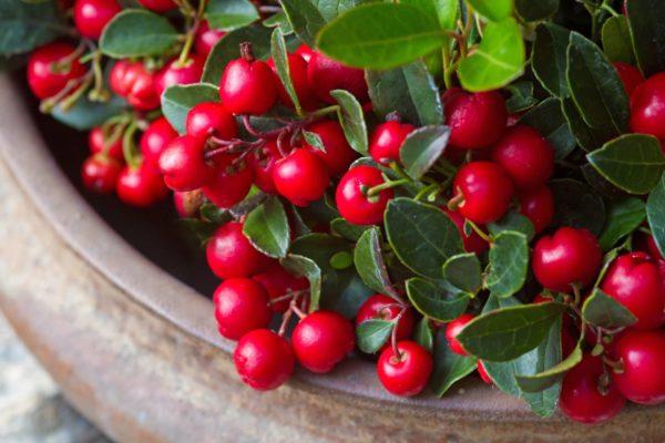 Wintergreen ith berrys