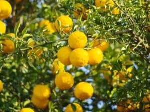 YUZU - Citrus Junos - Früchte am Baum