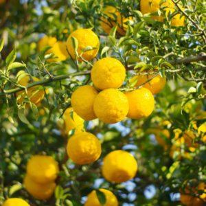 YUZU - Citrus Junos - Früchte am Baum zur Gewinnung von Yuzu (Citrus Junos) ätherisches Öl