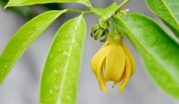 Ylang Ylang Blüte zur Gewinnung des kostbaren Ylang-Ylang-Öl