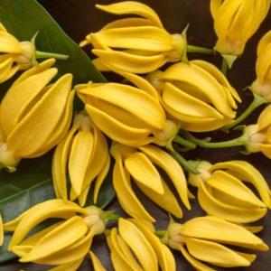 Ylang-Ylang Blüten zur Herstellung von YLAN-YLANG-extra ätherisches ÖL