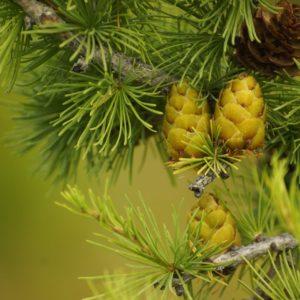 Zederzweig mit Frucht zur Gewinnung von Zedernholzwasser Atlas bio (Zederhydrolat)