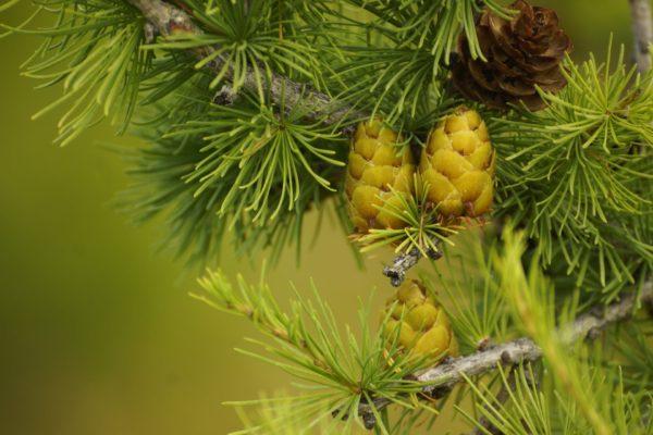 Zederzweig mit Frucht zur Gewinnung von Zedernholzwasser Atlas bio (Atlaszeder)