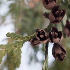 Zederholz zur Gewinnung von Zedernholz Kanada (ätherisches Öl)