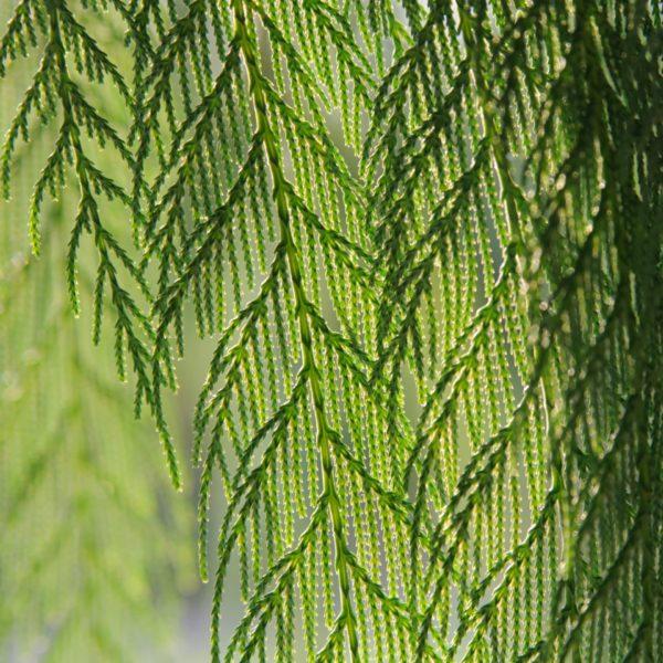 Cupressus funebris zur Gewinnung von Zedernholz China - Cupressus funebris (ätherisches Öl)