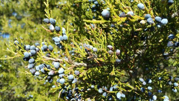 Zeder rot zur Gewinnung von Zedernholz Virginia - juniperus virginiana (ätherisches Öl)