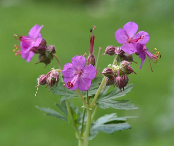 Blüten des Zdravetz - Geranium macrorrhizum - Zdravetz zur Gewinnung von Storchenschnabel (Zdravetz)-echtes Geraniumöl