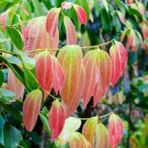 Cinnamomum zeylanicum Zimtzweige mit Blättern