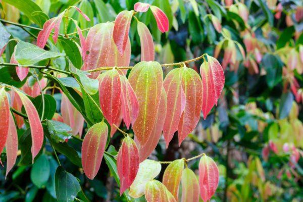 Cinnamomum zeylanicum Zimtzweige mit Blättern zur Gewinnung von Zimtzweige bio (ätherisches Öl)