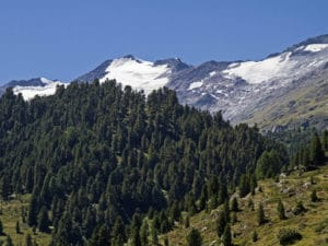 Pinus cembra - Zirbelkiefer vor Alpenkulisse