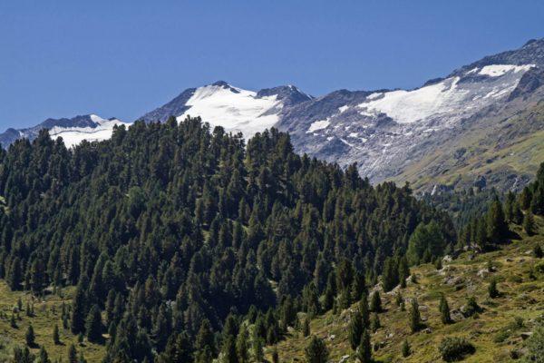 Pinus cembra - Zirbelkiefer zur Gewinnung von Zirbelkieferöl bio - Pinus cembra bio (ätherisches Öl)